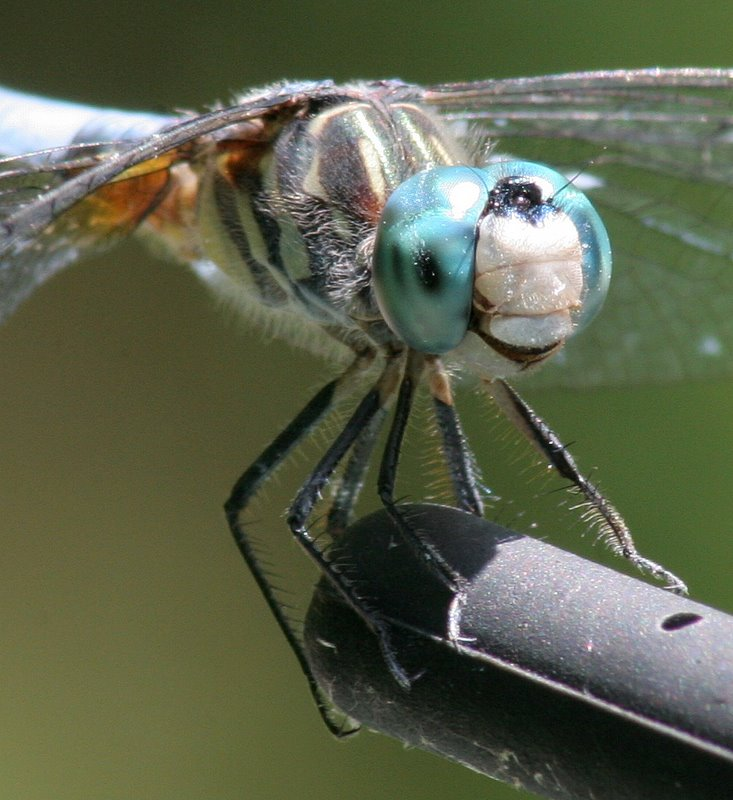 IMG_7108-1.JPG - Blue Dasher Extension Tube Macro   Playing around with my 75-300mm zoom lens and a 20mm extension tube was a challenge; I think this was the best of the many shots I took...  For more macro photography of dragonflies and other creatures, please take a look at  this gallery .