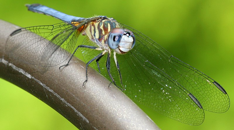 IMG_7458.JPG - My favorite Blue Dasher dragonfly, relaxing on a shepherd's hook in our front yard.