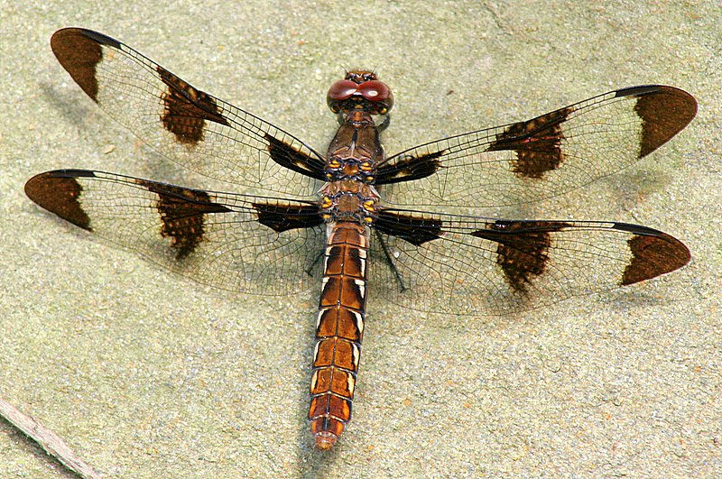 IMG_7985.JPG - Macro of a dragonfly (Painted Skimmer, I believe) in our front yard