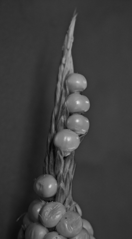 IMG_6722_800.jpg - This sprout of kernels growing from the end of an ear of corn begged for a macro treatment.