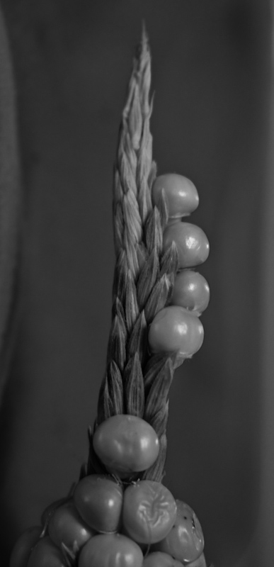 IMG_6736_800.jpg - This sprout of kernels growing from the end of an ear of corn begged for a macro treatment.